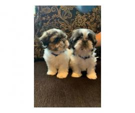 2 males Shihtzu puppies for sale