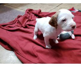 AKC Brittany Spaniel puppies for sale