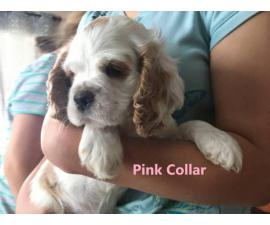 5 Gorgeous Cocker Spaniel Puppies for sale