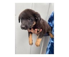 one boy left Australian Shepherd puppy