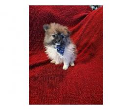 2 male 2 female Pomeranian puppies for sale