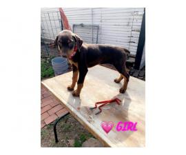 3 female AKC Red Dobermans Puppies for Sale