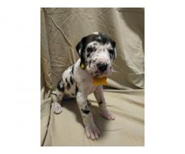 4 Great Dane Puppies Available