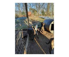 4 Dutch shepherd puppies for sale