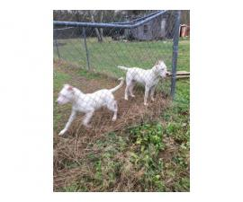 UKC Dogo Argentino Puppies for Sale