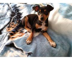 Purebred Minpin puppy for sale