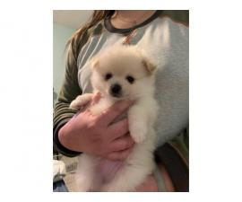 3 Pomeranian puppies needing forever home