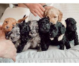 6 F1 Golden Doodle puppies for sale