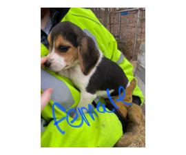 4 fullblooded mini beagle puppies for sale