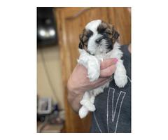 3 Shihtzu Male Puppies for Sale