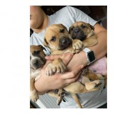 7 weeks old Boxer puppies ready for new homes