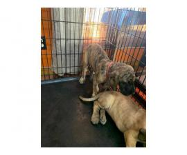 AKC Great Danes for Sale