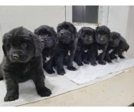 Purebred Newfoundland puppies for sale
