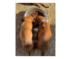 Two Redbone Coonhound Puppies for Sale