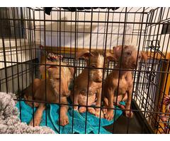 4 beautiful Xoloitzcuintli puppies