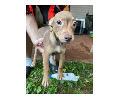 2 Jack Chi puppies needing a good home
