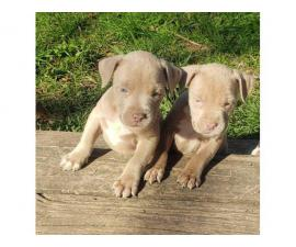 3 adorable pitbull puppies for sale