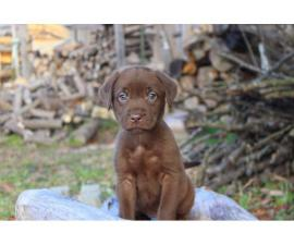 5 chocolate Lab puppies left