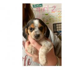 Three female beagle puppies for new homes