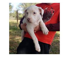 9 weeks old Dogo Argentino