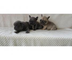 AKC French Bulldog for Sale