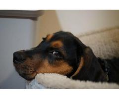 8 months old Beagle puppy