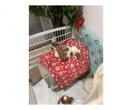 Adorable Jack Russell puppies for Sale
