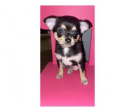 Pomchi Puppies ready for their forever homes