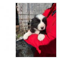 3 Aussie puppies for sale