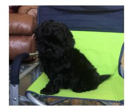 Male and female Shih Poo Puppies