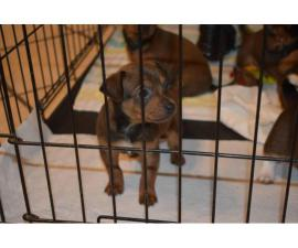 6 beautiful Chiweenie puppies available