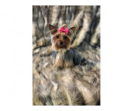 Full AKC Yorkie for Sale