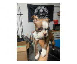 2 female AKC Boston Terrier puppies available