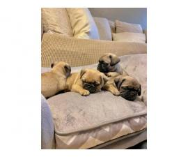 3 Fawn Pug puppies for Sale
