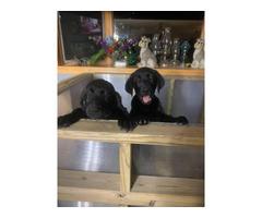 2 AKC black Labrador puppies for sale
