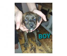 10 pitweiler puppies looking for a forever home