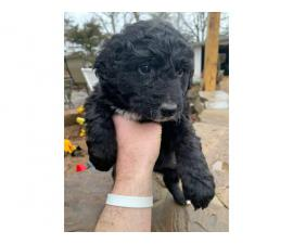 Aussiedoodle puppies  3 males and 1 female