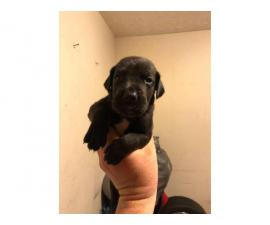AKC registered Great Dane puppies for sale