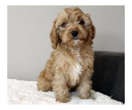 Gorgeous Red F1b Cavapoo Puppies