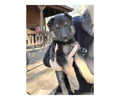 5 Purebred German Shepherd puppies needing new home