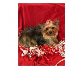 AKC Show quality Yorkshire Terrier Pup for Sale