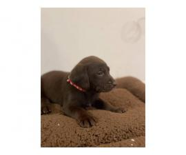 AKC Chocolate Lab puppies for Sale