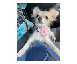 5 months old Chi-poo puppy needing a great home