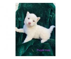 5 Alusky male puppies for sale