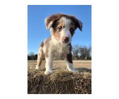 3 male ASDR registered Australian Shepherd puppies for sale