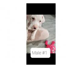 4 Great Dane Puppies to a loving home