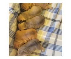 5 Purebred AKC French Bulldog puppies