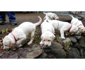 Yellow Labrador Puppies for Sale