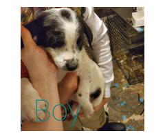 6 Beagle puppies need good homes