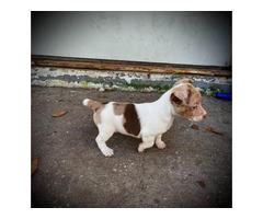 UKC short-legged Rat Terrier puppies